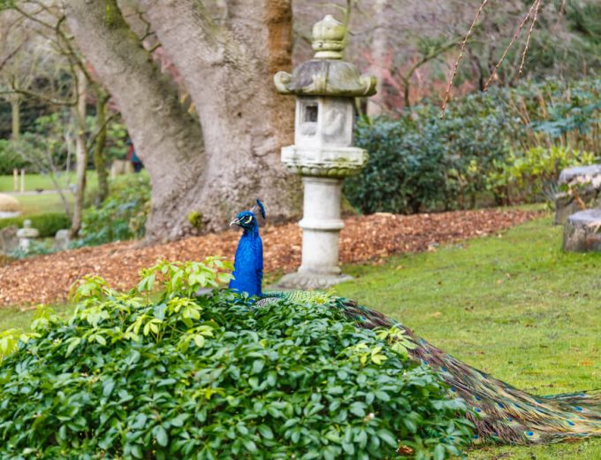 Peacock in Holland park, London